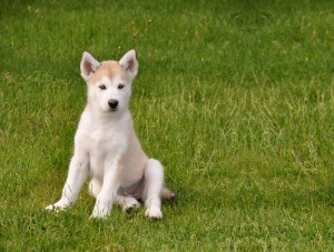Husky Pup - Barbie Commerical