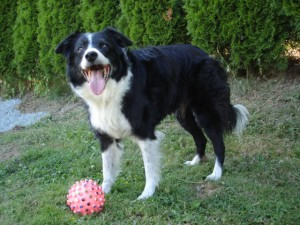 Hannah - Border Collie