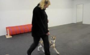 coydog puppy heeling
