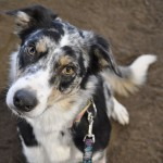 """Border Collie - Bizzy asks """"is it my turn yet"""""""