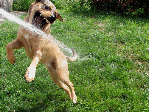 dog bites water from hose