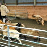 Johnny the Briard works sheep for his Herding Instinct Test