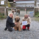 Briard Rafi earns her Herding Instinct Test