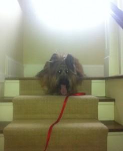"""Movie dog """"Ruckus"""" On set BCAA Commercial"""