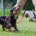 dachshund-thumb