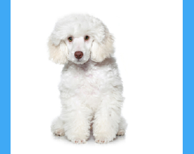 example white dog