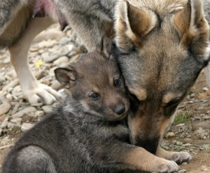 wolf with puppy