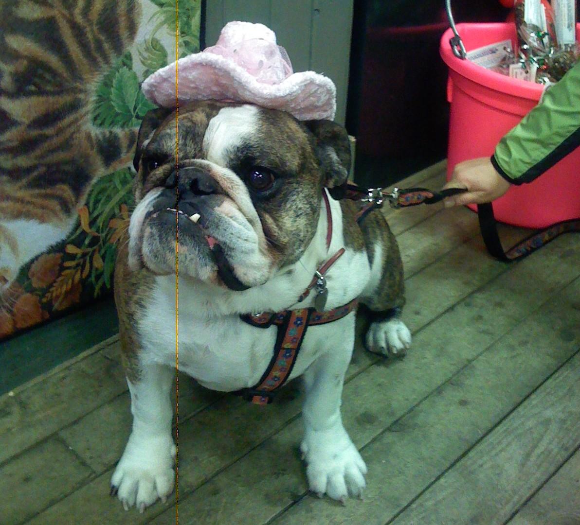 Molly the Bulldog