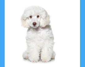 example white dog