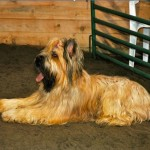 Briard Johnny does a down stay
