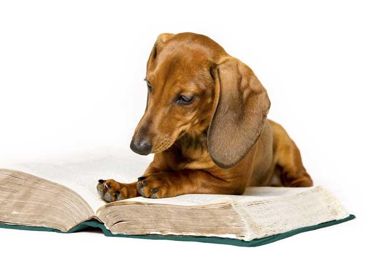 Dachsund reading