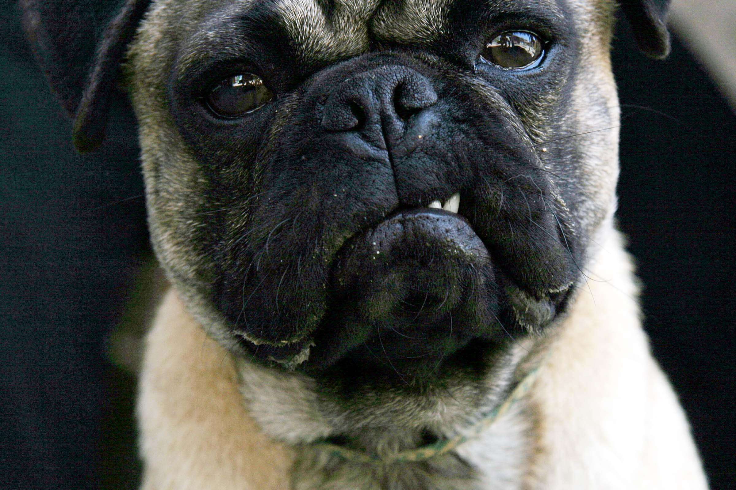 Puzzled Pug Dog